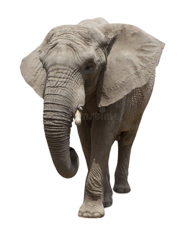 Approche d'éléphant africain images stock