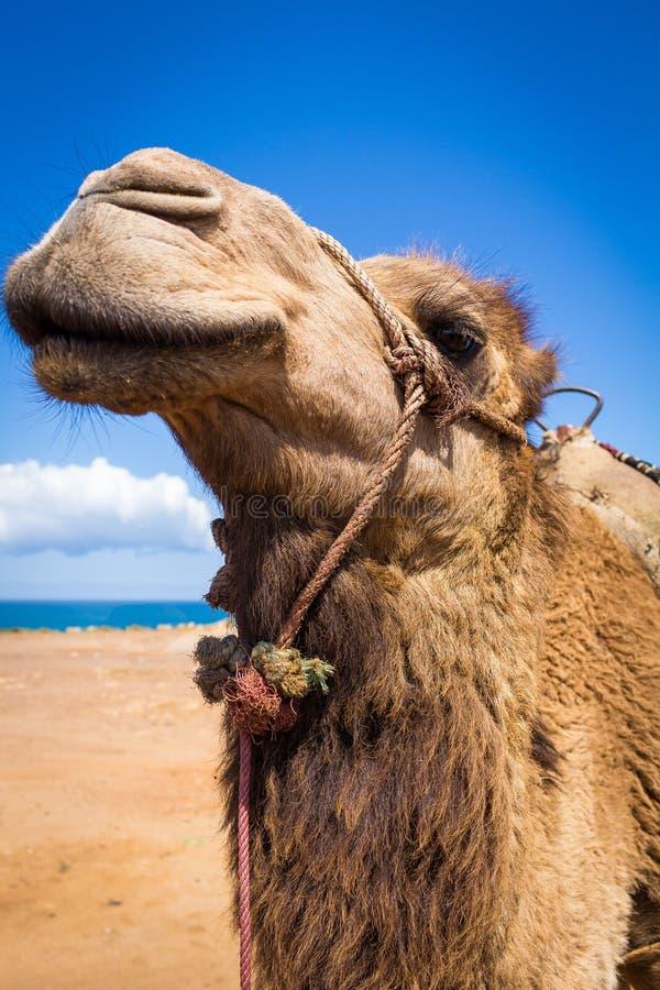 Approche d'un chameau dans le désert par la mer Dromadaire avec son bâti pour transporter des personnes image stock