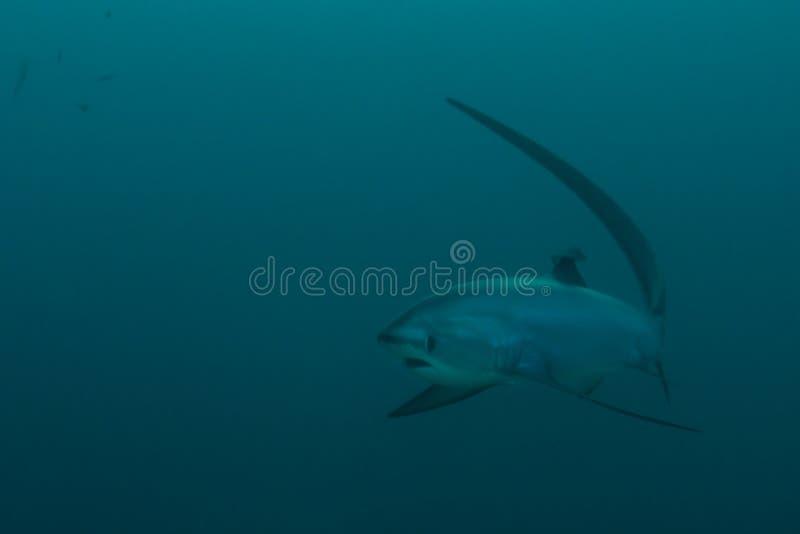 Approche de requin de batteuse image libre de droits