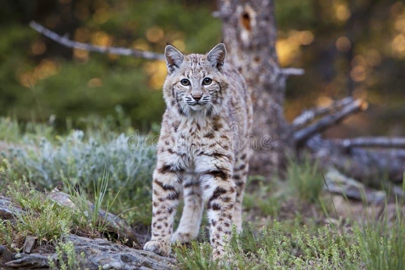 Approche De Rufus De Lynx De Chat Sauvage Photo libre de droits