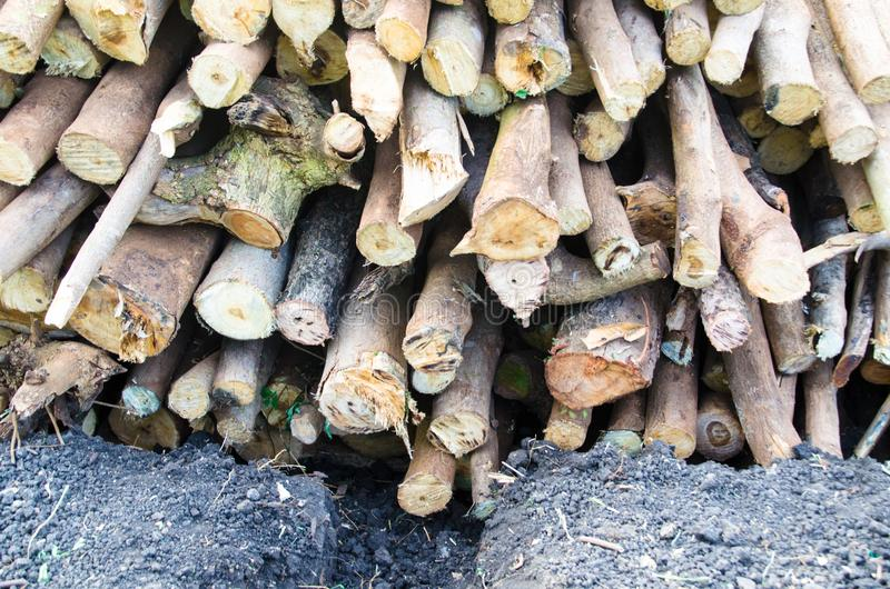 The appropriate environmental factors.Environmental factors, reasonable. Acacia wood is a sustainable environment Giants were well even in areas that are drought stock image