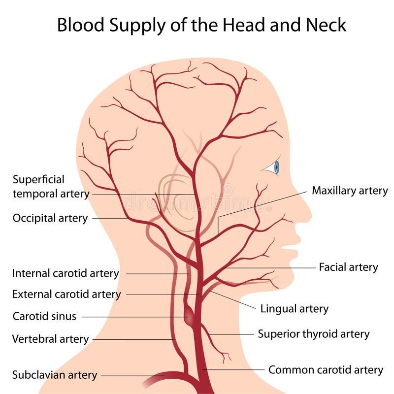 Approvisionnement de sang en tête et cou illustration libre de droits