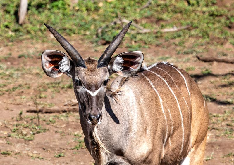 Approximately 12 month old Nyala male near the Chobe river in Botswana. During summer stock photo