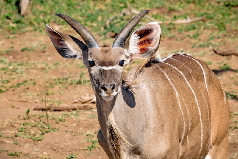 Approximately 12 month old Nyala male near the Chobe river in Botswana. During summer royalty free stock image