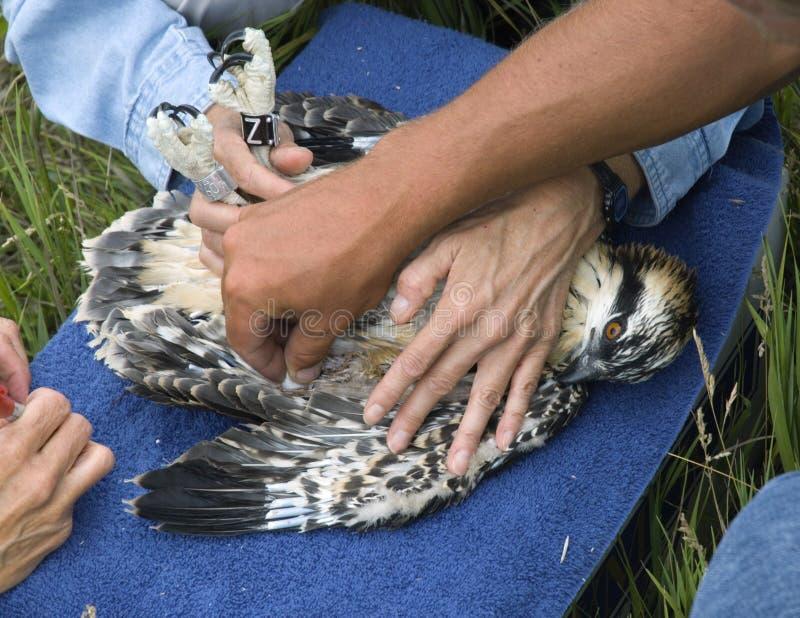 Après la prise du sang de l'Osprey juvénile (haliaetus de Pandion) image libre de droits