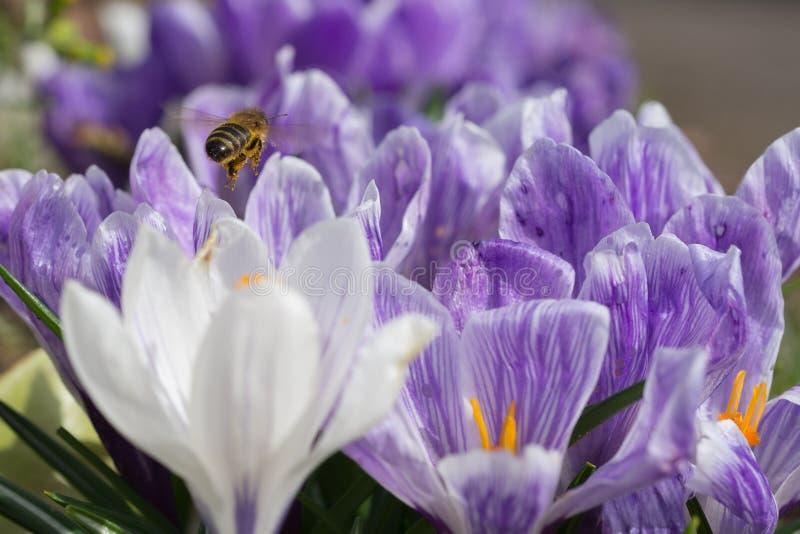 Après une abeille photos libres de droits