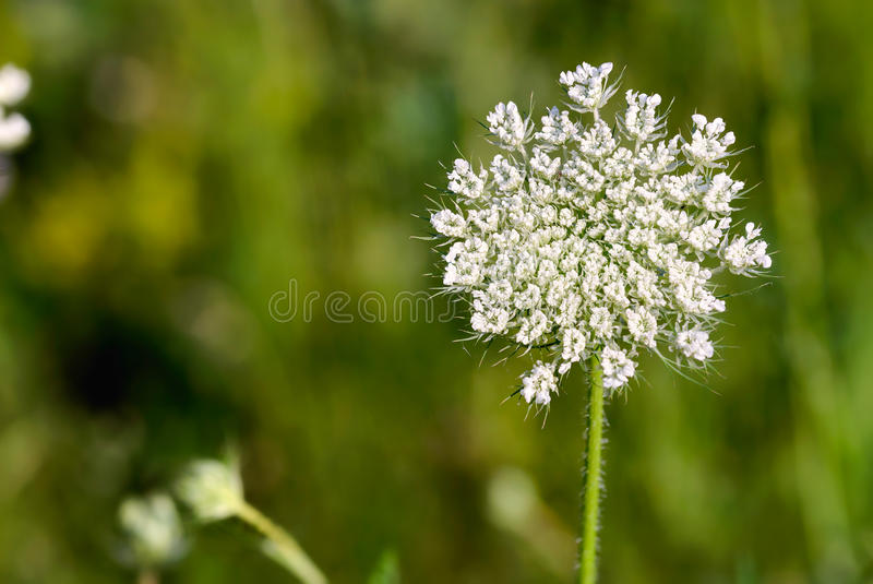 Apra il fiore di daucus carota fotografia stock