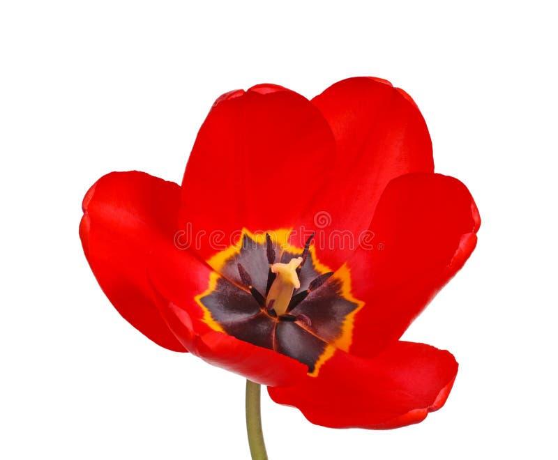 Apra il fiore di un tulipano rosso e nero fotografia stock