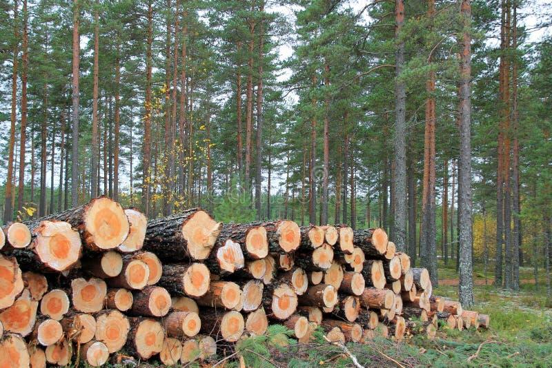 Apre la sessione la foresta del pino in autunno fotografie stock libere da diritti