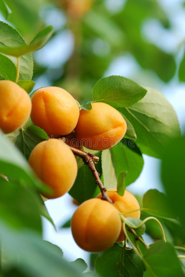 Apricot. A lot of apricot, very delicious
