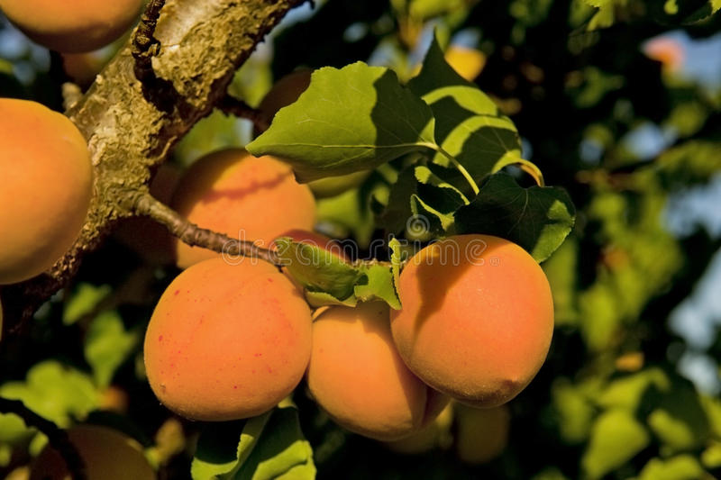 Download Apricot Royalty Free Stock Photos - Image: 25485998