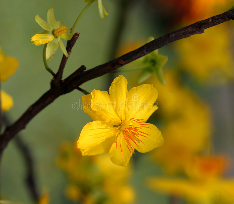 Apricot bloom stock images
