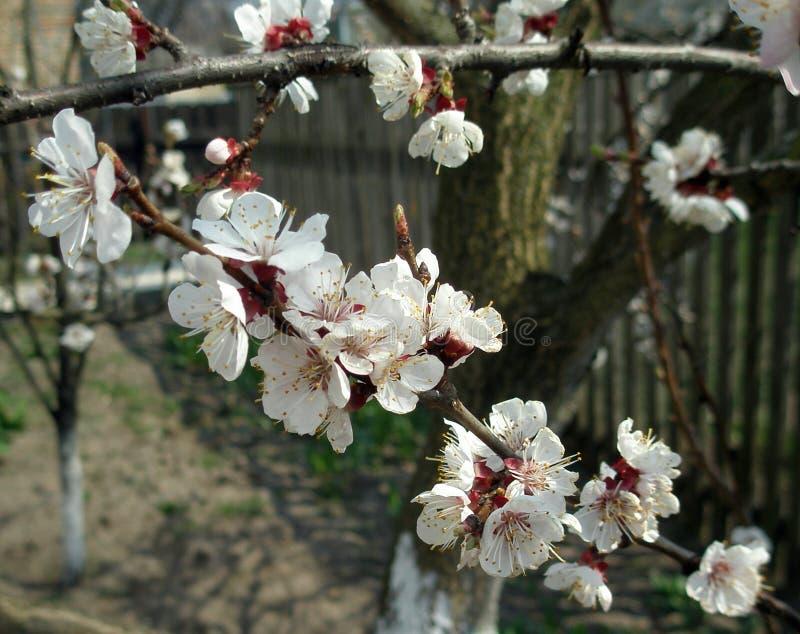 Apricot bloom stock photo