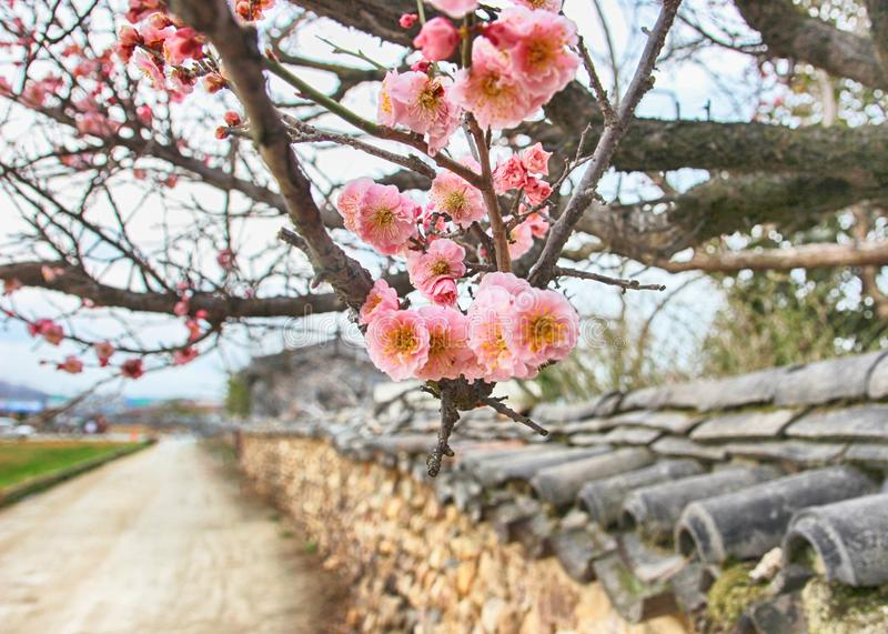 Apricot Blooming on the roof tile of Korean Traditional House in Slow city Changpyeong, Damyang, Jeonnam, South Korea, Asia.  stock photography