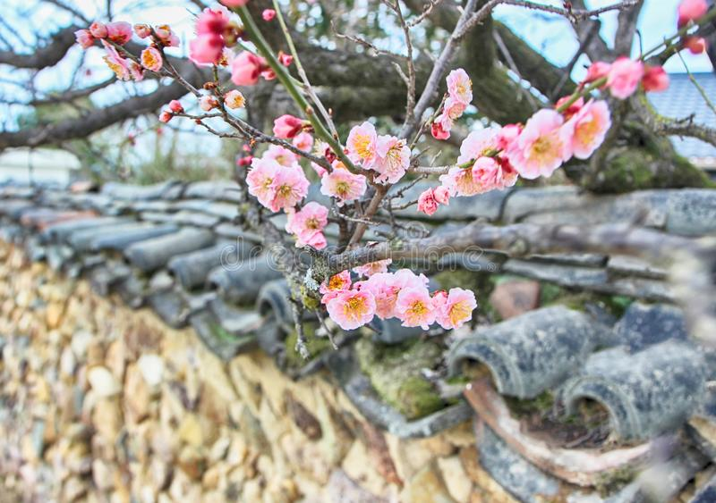Apricot Blooming on the roof tile of Korean Traditional House in Slow city Changpyeong, Damyang, Jeonnam, South Korea, Asia.  stock photos