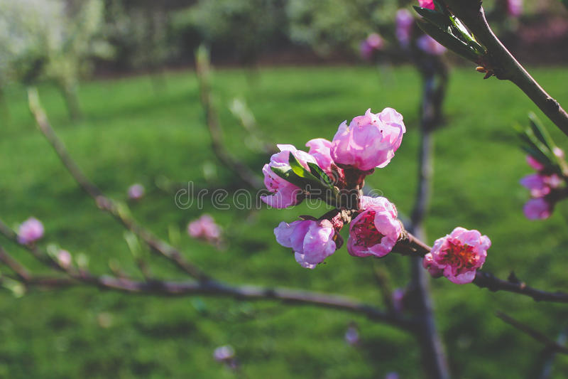 Apricot blossom stock photos