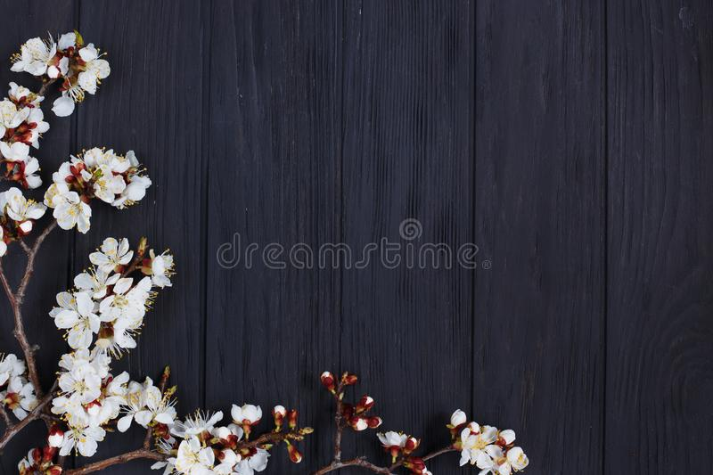Apricot blossom branches on black background, free space for adv stock photos