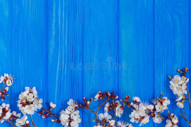 Apricot blossom branches on bright blue background, free space f stock photo