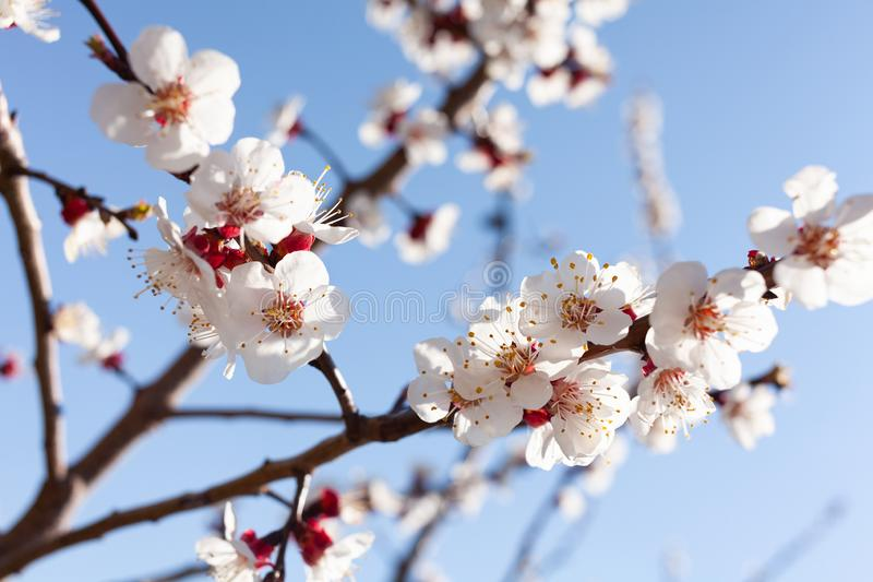 Apricot blossom royalty free stock photo
