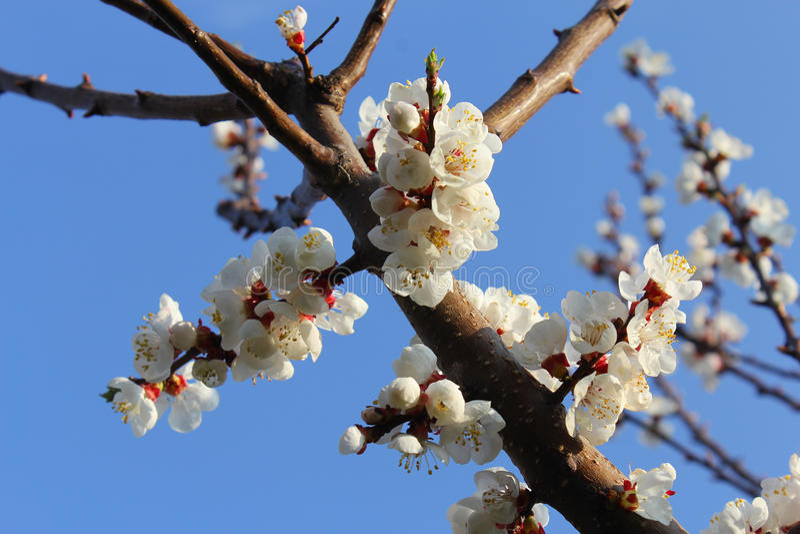 Apricot Blossom Flower with Blue Sky at Pari Mahal, Srinagar stock photos