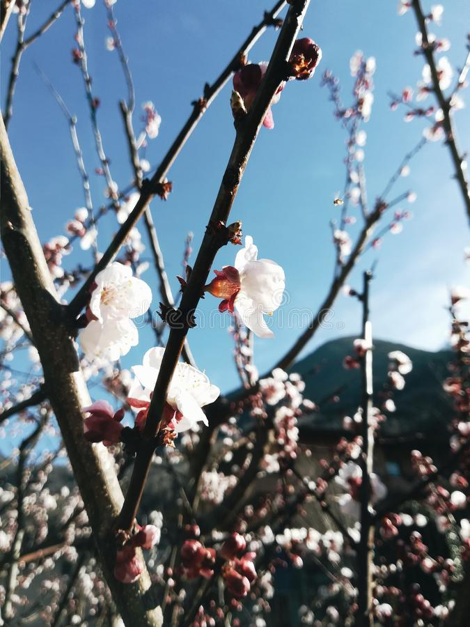 Apricot blossoms flowers tree stock photography