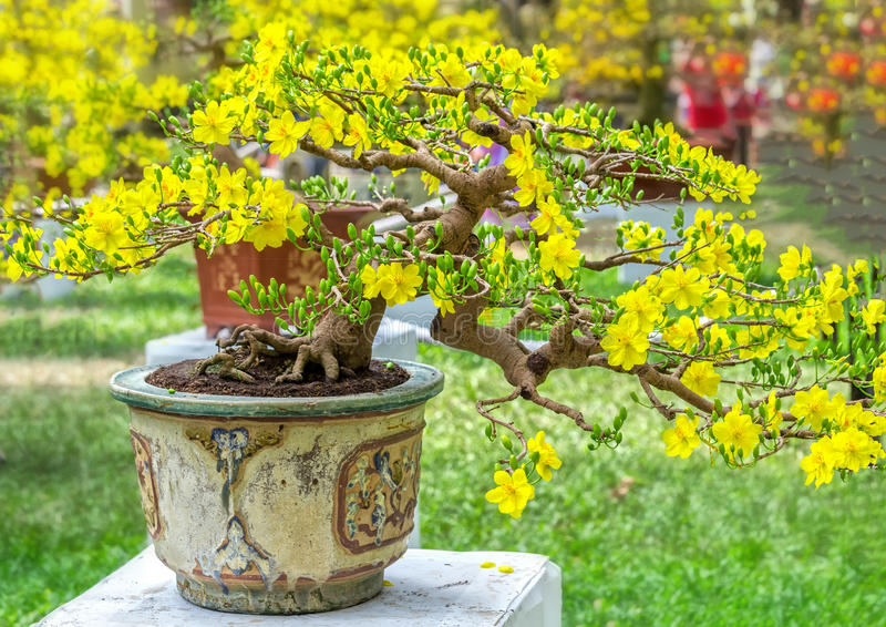 Apricot bonsai potted trees are blooming. With flowers and hundreds of flower buds as trees laden with beautiful designs of spring weather in Vietnam royalty free stock images
