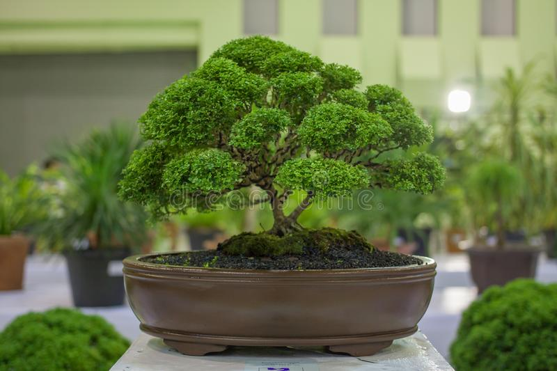Apricot bonsai tree blooming in spring with yellow flowering branches curving create unique beauty of spring in Vietnam stock image
