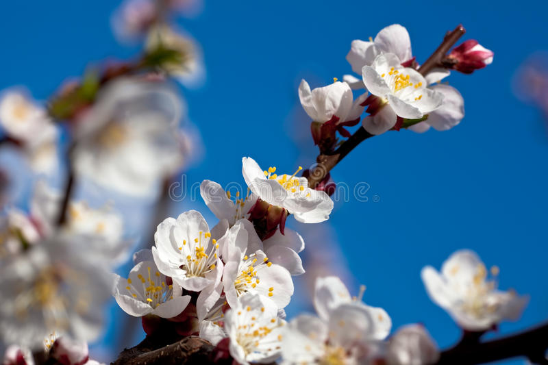 Apricot branch in bloom royalty free stock images