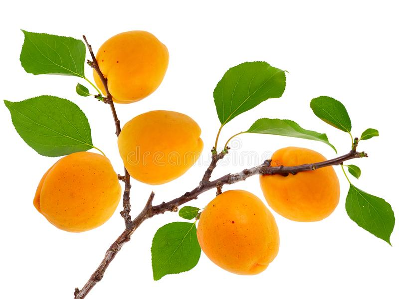 Apricot branch with fruits and leaves royalty free stock images