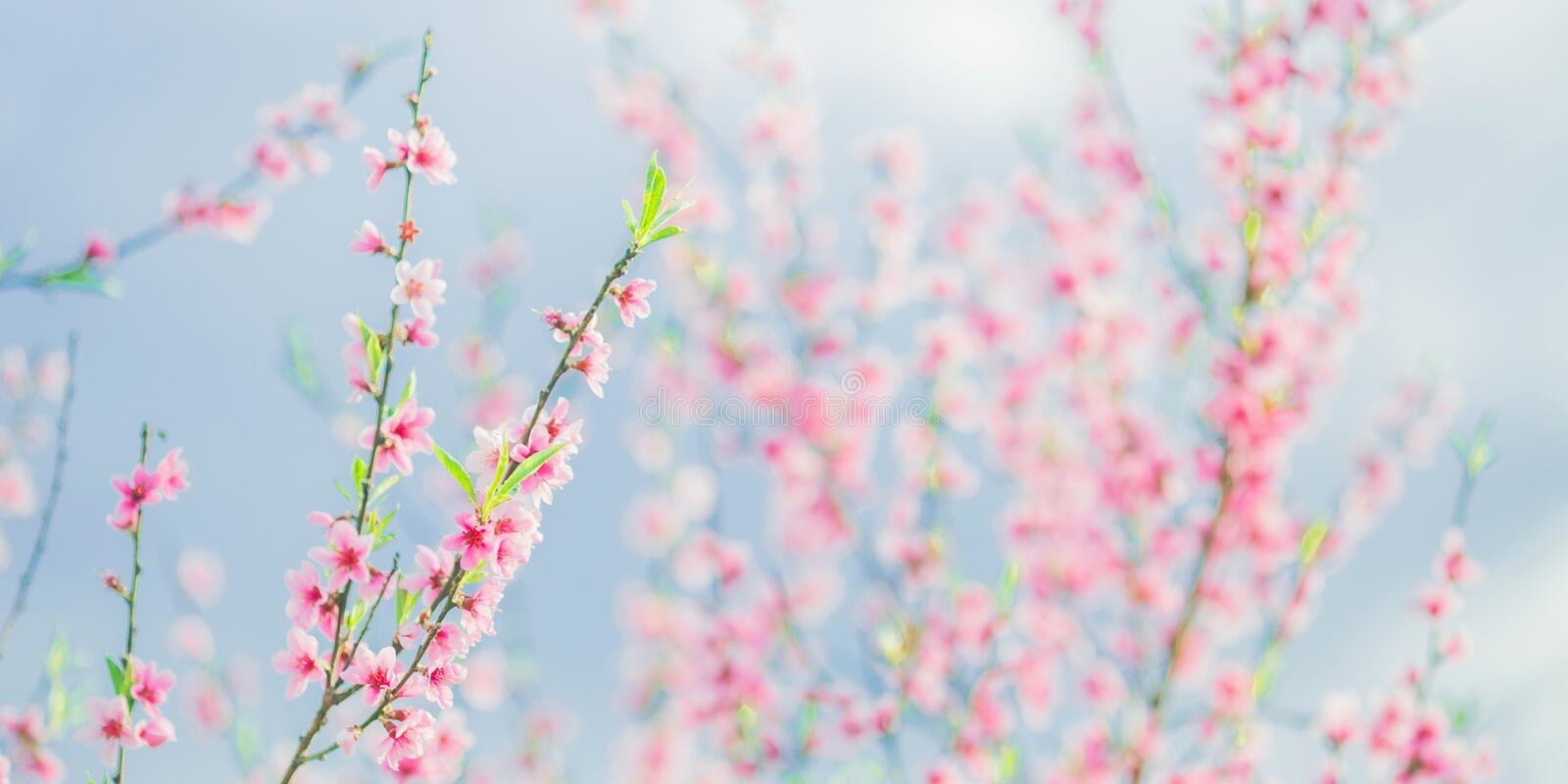 Apricot branch with pink flowers panorama. Spring blooming tree background. Nature backdrop. Blooming spring flower. Blossom stock photography