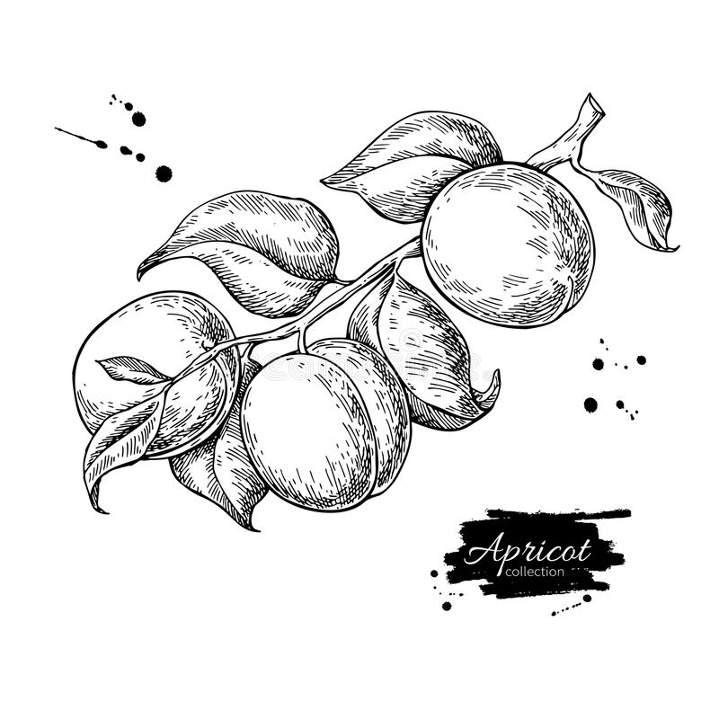 Apricot branch vector drawing. Hand drawn isolated fruit. Summer stock illustration