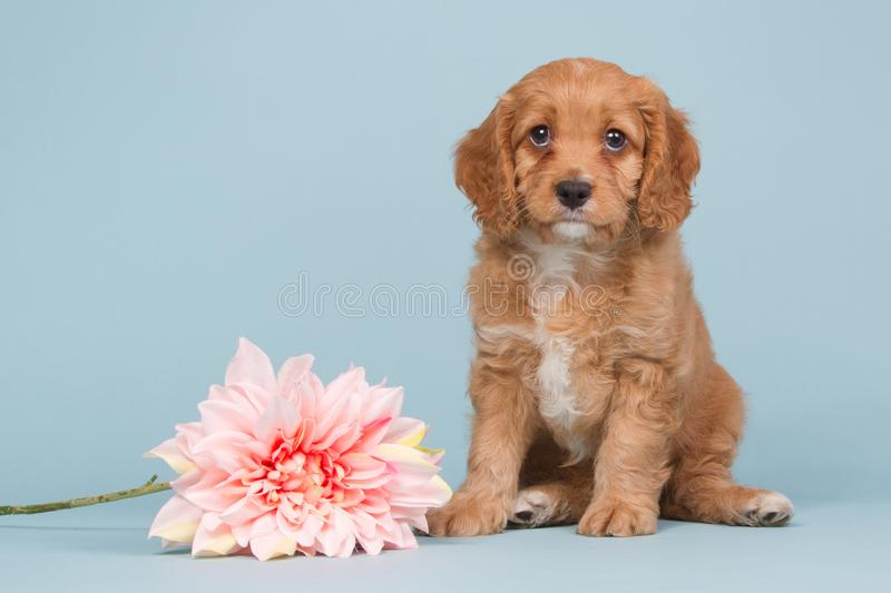 Apricot cavapoo puppy with a pink flower. Cute cavapoo puppy sitting on a blue background near a pink flower stock image