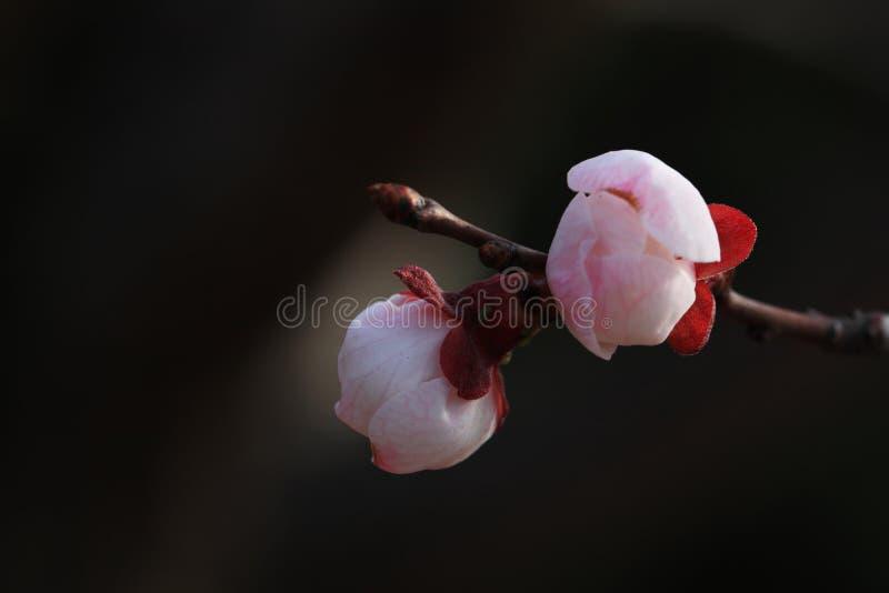 Apricot flower(Armeniaca vulgaris) stock images