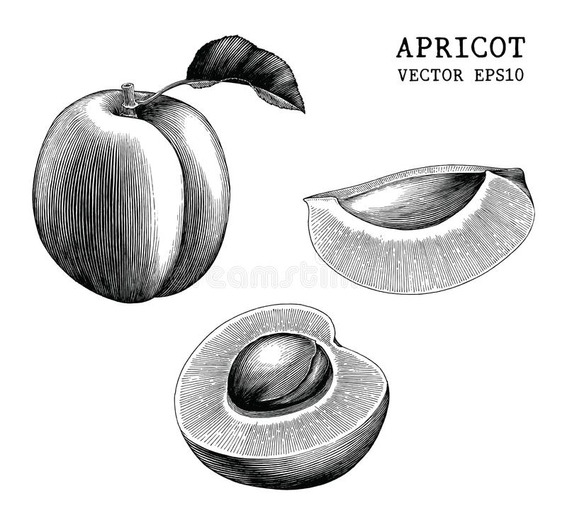Apricot collection hand draw vintage clip art isolated on white stock illustration