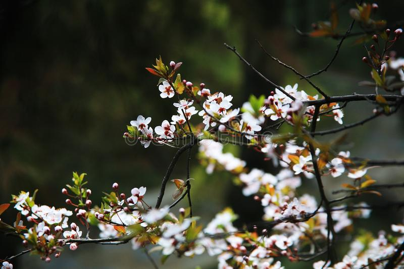 Apricot flower. Apricot blossoms, apricot flowers, belong to angiosperm, Magnoliaceae, Rosaceae, Rosaceae, deciduous trees. It opens in March and April, and is stock images