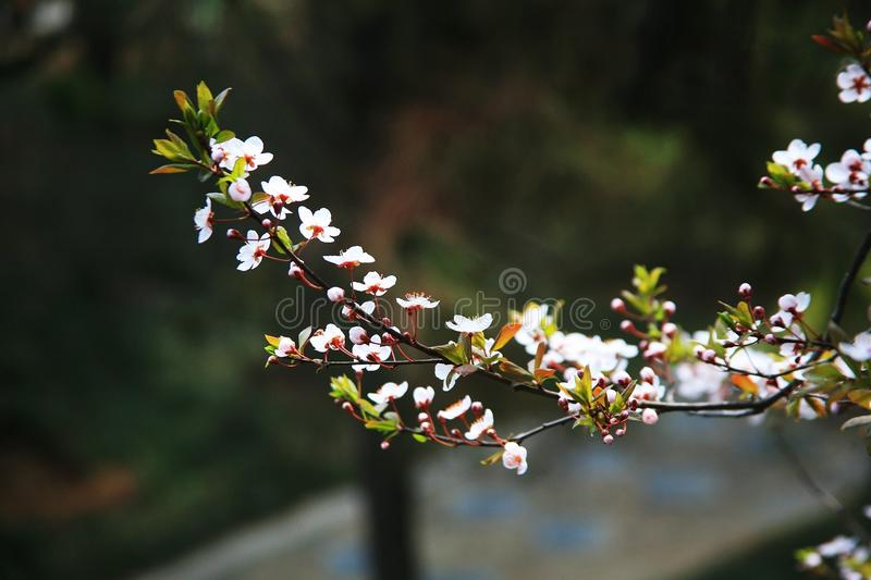 Apricot flower. Apricot blossoms, apricot flowers, belong to angiosperm, Magnoliaceae, Rosaceae, Rosaceae, deciduous trees. It opens in March and April, and is royalty free stock image