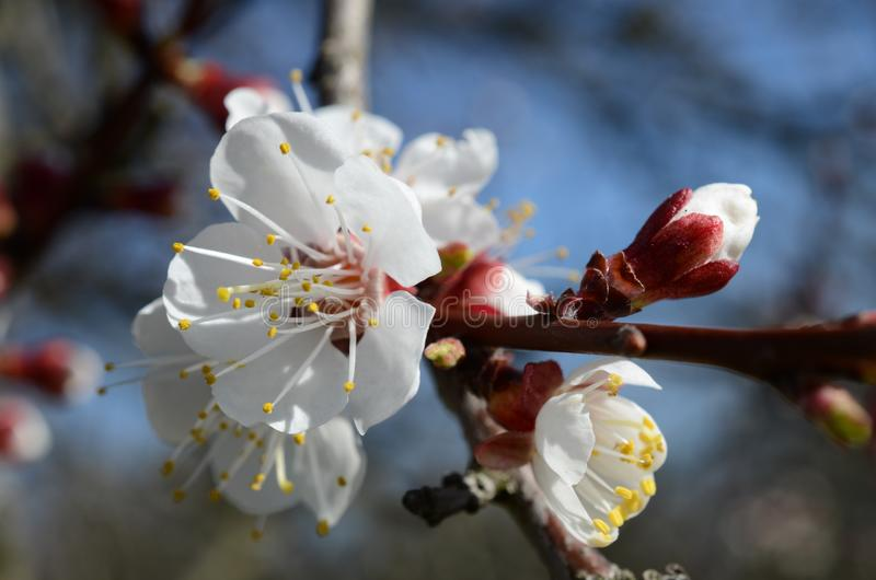 Apricot flower with blue sky stock photos