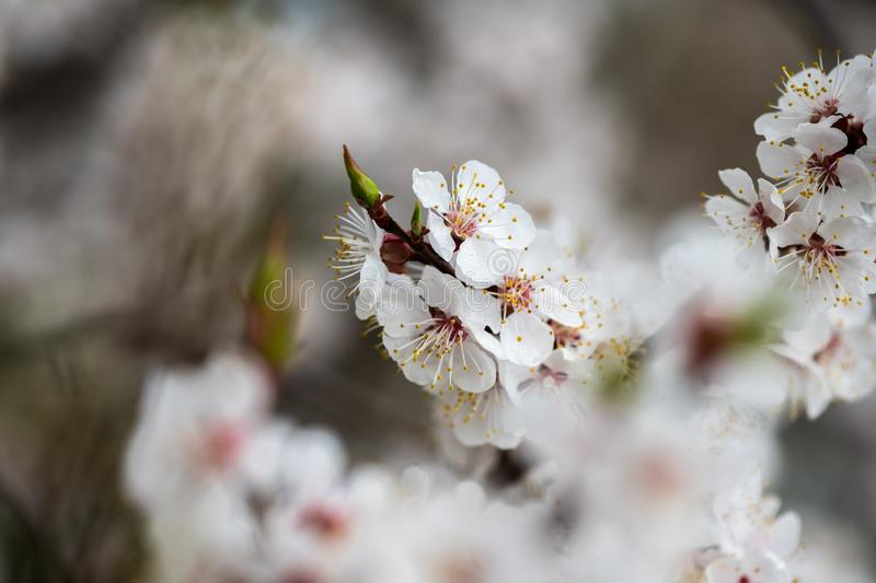 Apricot flower spring nature close up macro stock images