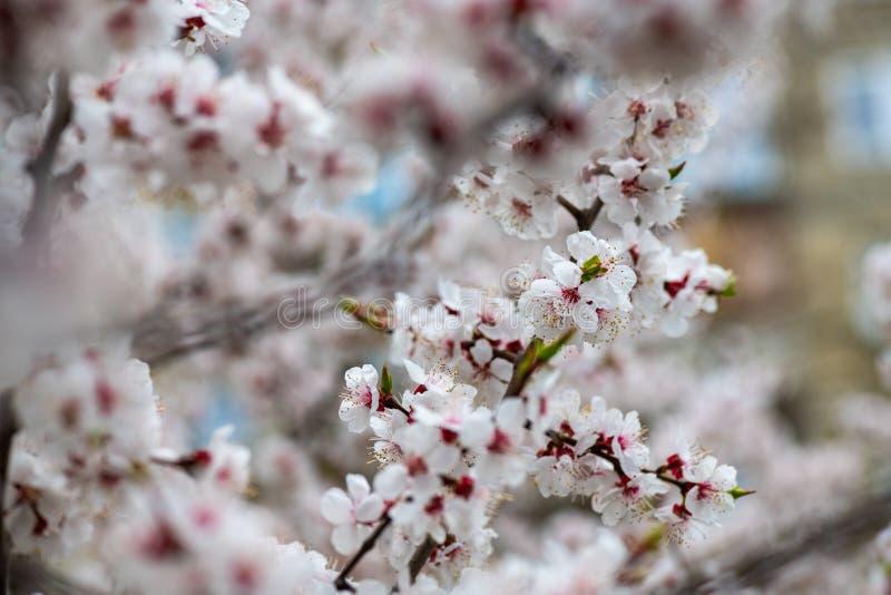 Apricot flower spring nature close up macro awekening life royalty free stock photo