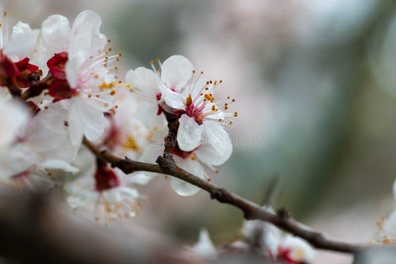 Apricot flower spring nature close up macro awekening life stock photography