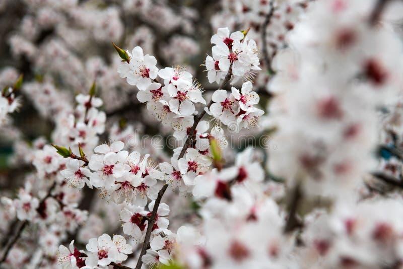 Apricot flower spring nature close up macro awekening life royalty free stock images