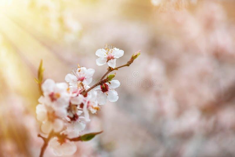 Apricot flower spring nature close up macro awekening life royalty free stock photography