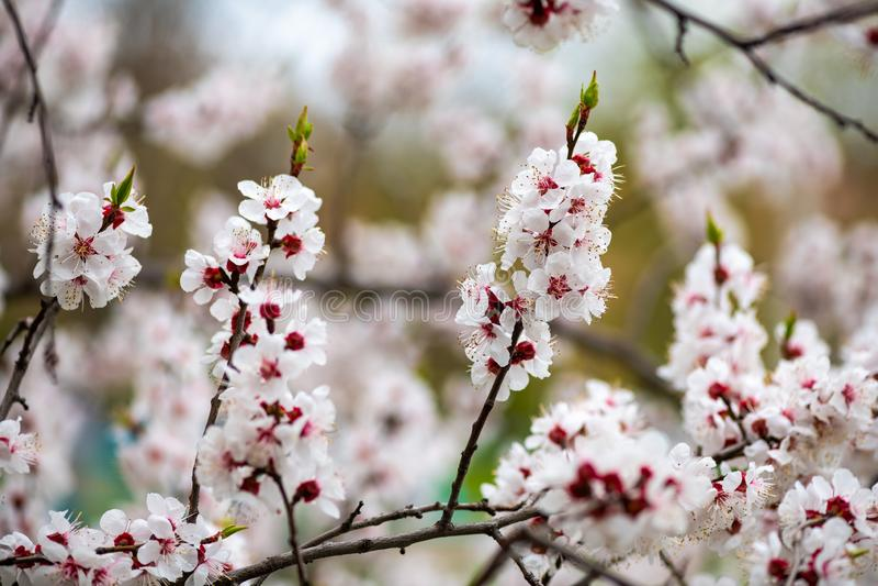 Apricot flower spring nature close up macro awekening life royalty free stock image