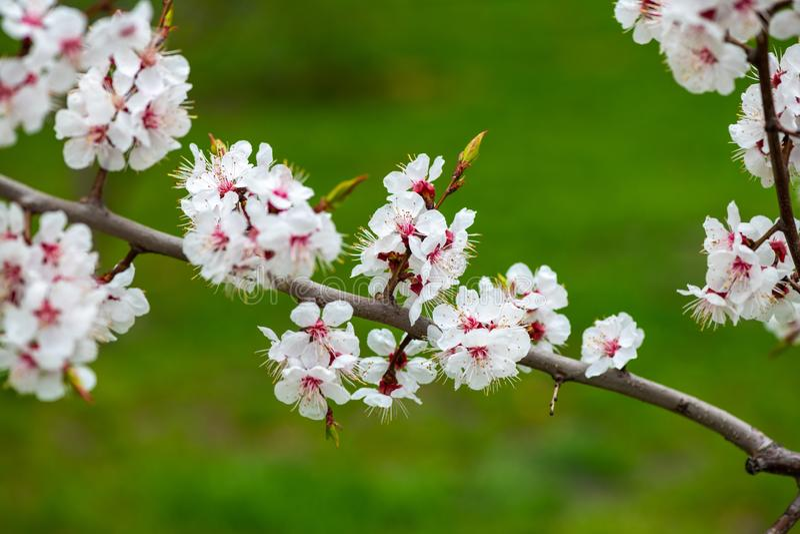 Apricot flower spring nature close up macro awekening life stock images