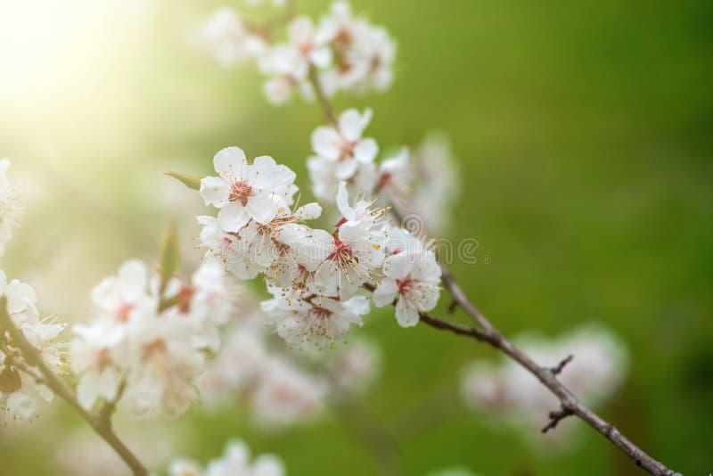 Apricot flower spring nature close up macro awekening life stock photo