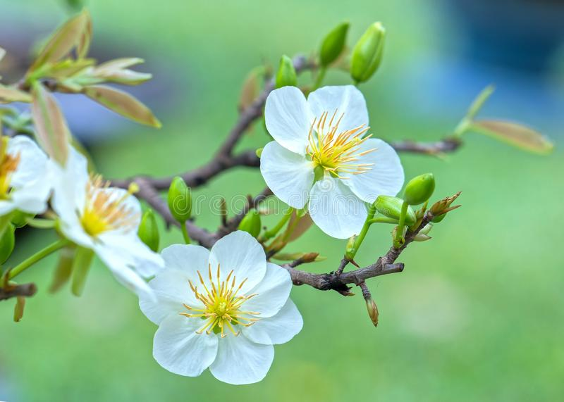 Apricot Flowers Blooming In Vietnam Lunar New Year Stock ...
