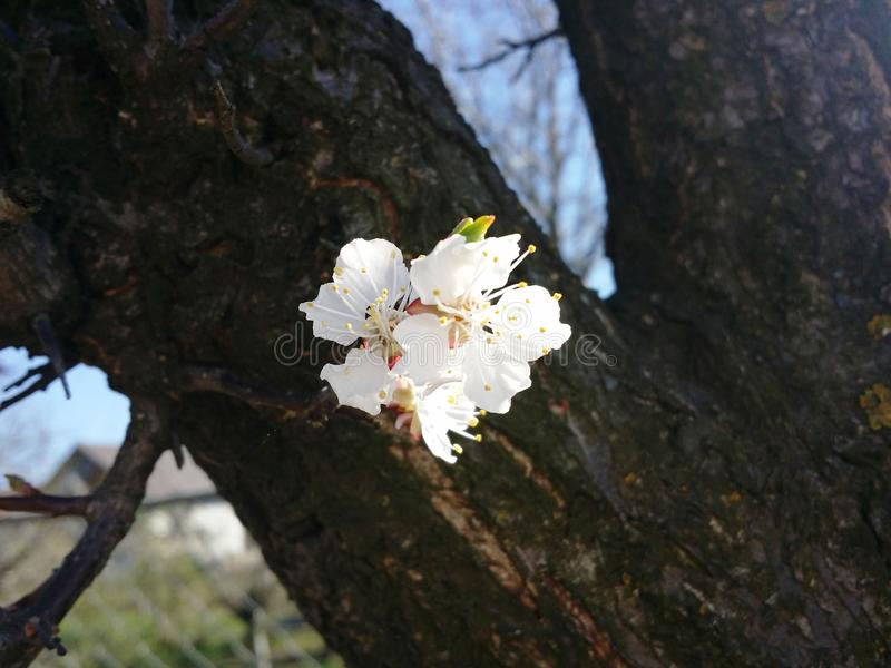 Apricot flowers . royalty free stock image