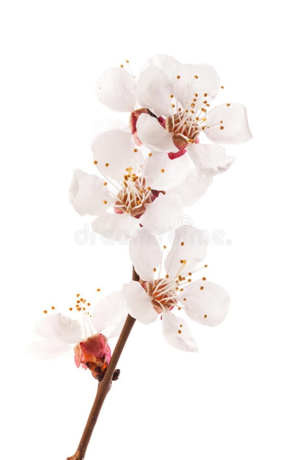 Apricot flowers royalty free stock photo