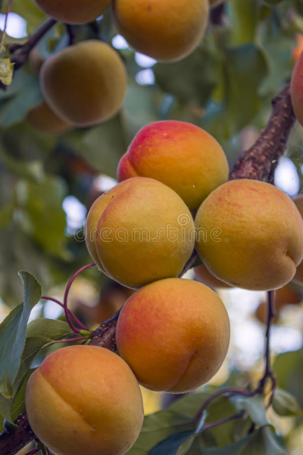 Apricot fruit on a branch royalty free stock photo