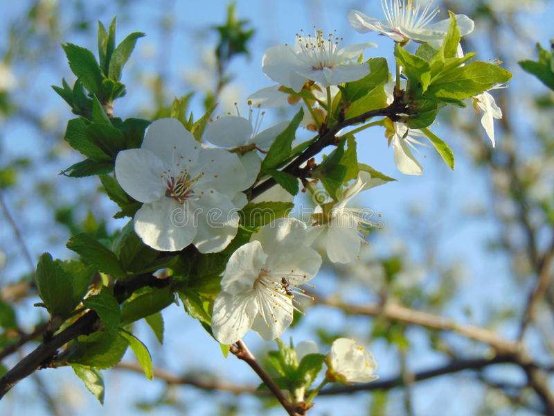Apricot inflorescence royalty free stock photos